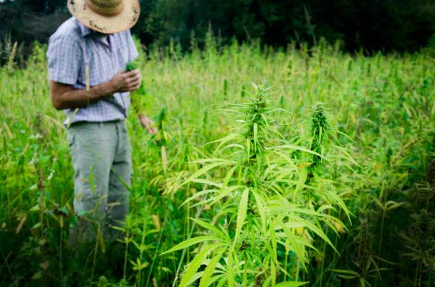 10-marijuana-plants_000059088924_Small