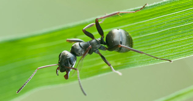 1-Formica_fusca-ant