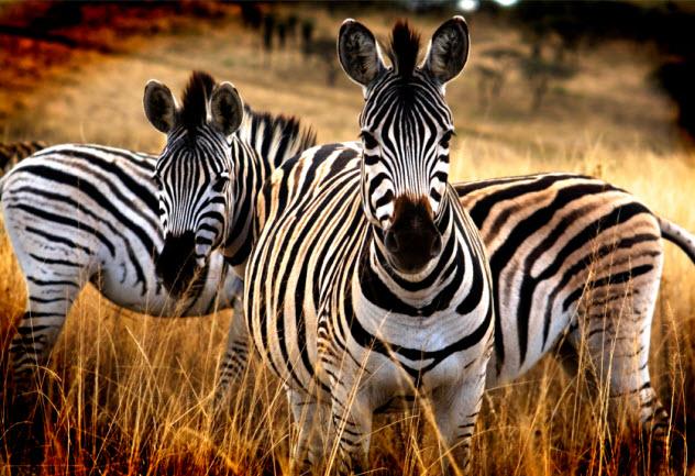 10-zebras_000049105572_Small