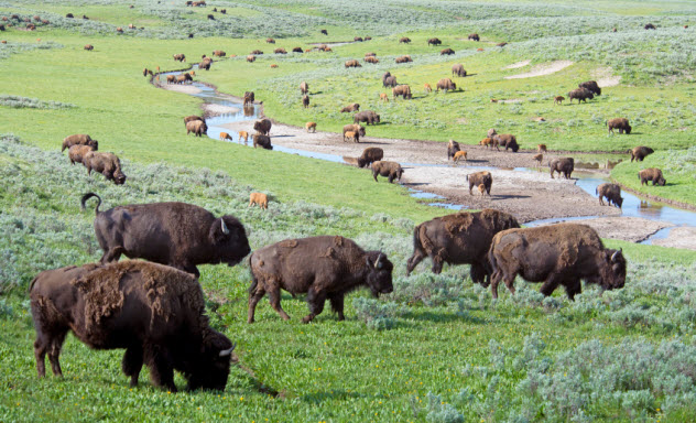 4-bison-herd_000068363329_Small