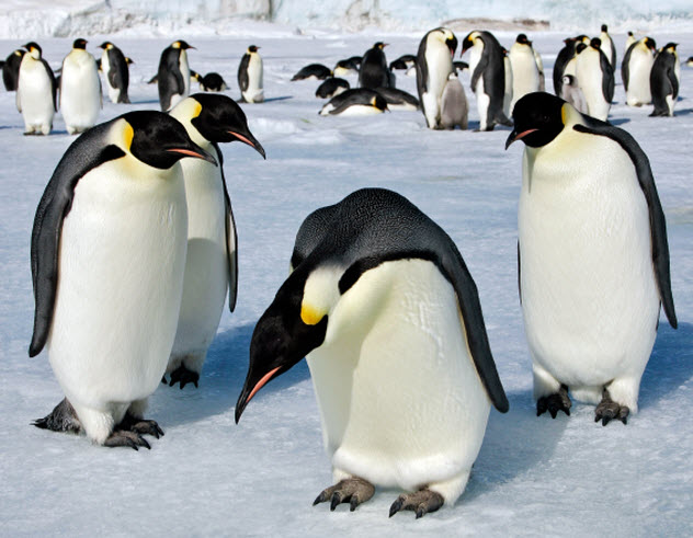 7-emperor-penguins_000018386429_Small