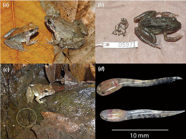 Limnonectes_larvaepartus_-_a_fanged_frog_that_gives_birth_to_tadpoles