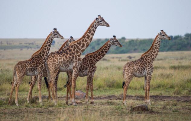 3-giraffes_000082975205_Small