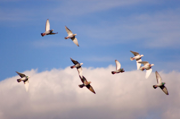 4-homing-pigeons-flying_000025899198_Small