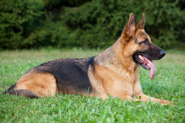6-german-shepherd_000013929514_Small