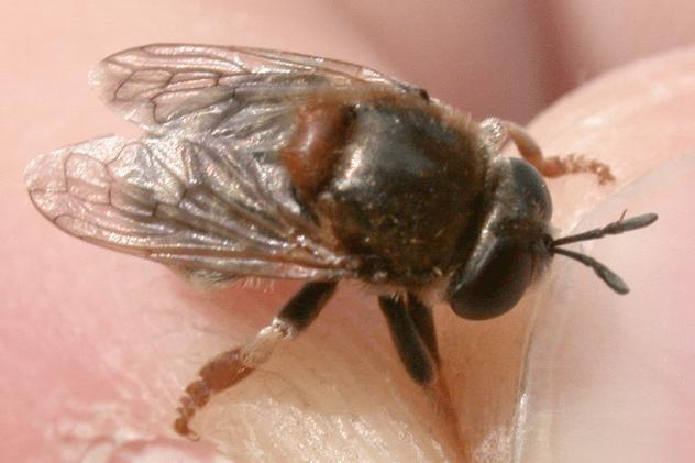Microdon mutabilis