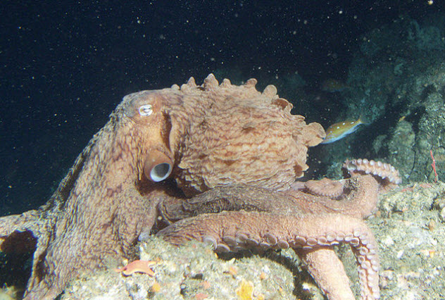 3a-giant-pacific-octopus