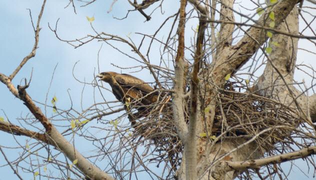8-black-kite-nest_000015101171_Small