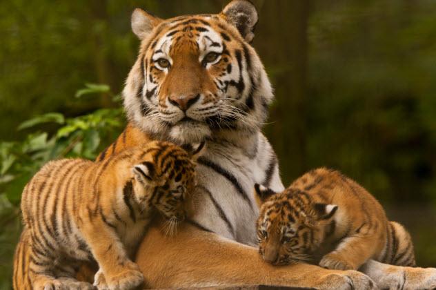 9-siberian-tigers_000043768362_Small
