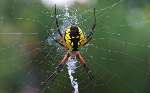 4-black-and-yellow-garden-spider_49549338_SMALL