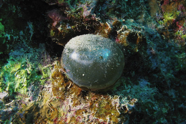 Bubble Algae