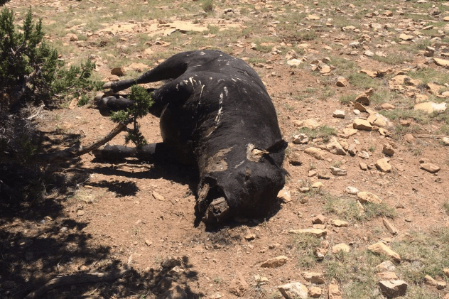 Mutilated Cow Arizona