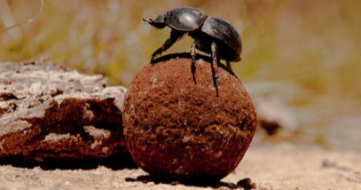 feature-9-dung-beetle