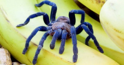 10b-blue-tarantula_13300698_SMALL