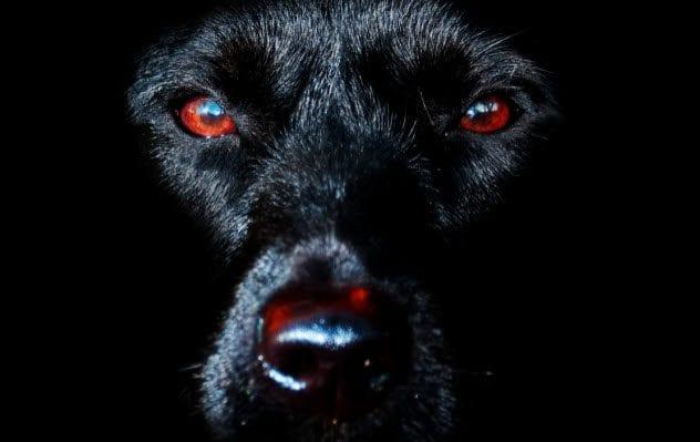 6a-black-dog-530743495