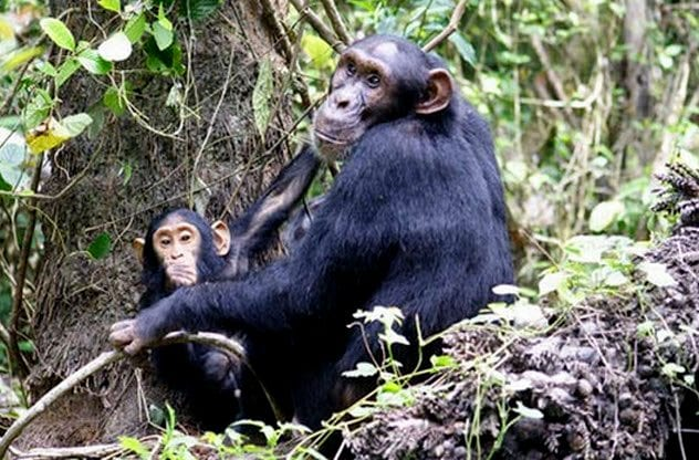 8a-female-chimp-and-infant