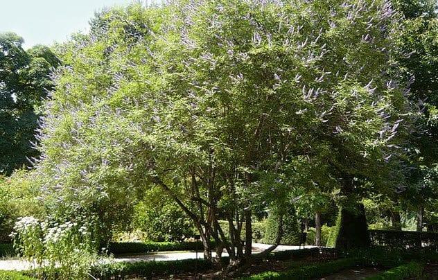 8c-chaste-tree