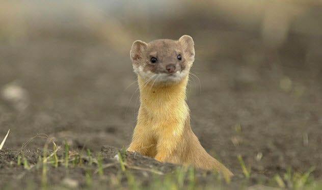 9b-weasel-186886788