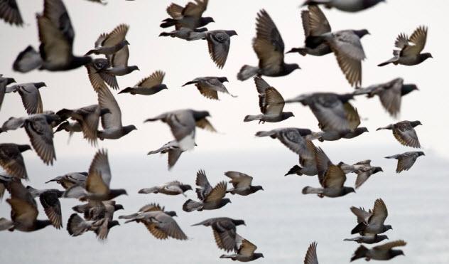 8-flying-pigeons