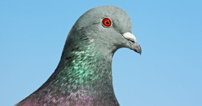 feature-pigeon-head_000019906494_Small