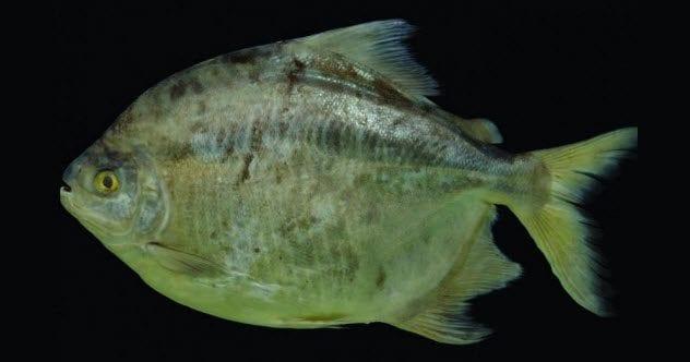 6-myloplus-zorroi