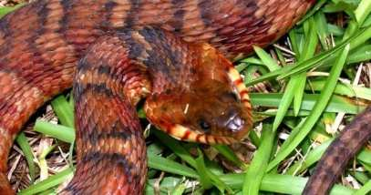banded-water-snake-featured