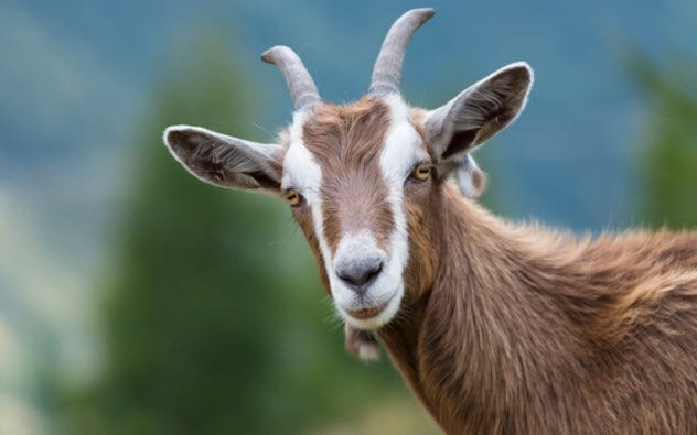 7a-goat-486869012