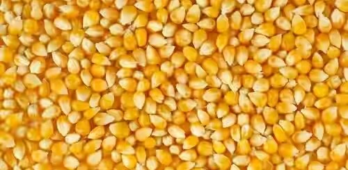 yellow-maize-seeds.jpg