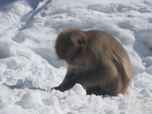snow monkeys onsen monkeys japan 6