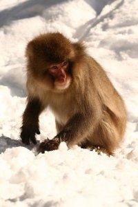 snow monkeys onsen monkeys japan 8