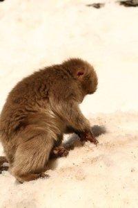 snow monkeys onsen monkeys japan 8a