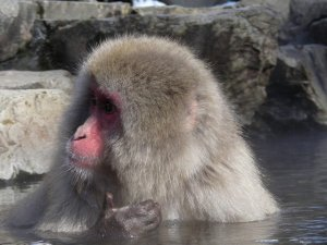 snow monkeys onsen monkeys japan seeds 6