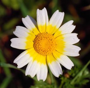 Daisy_January_2008-1