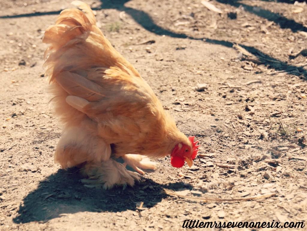 Red Barn Farm Chicken