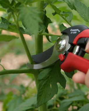 Tips for Pruning Tomato Plants