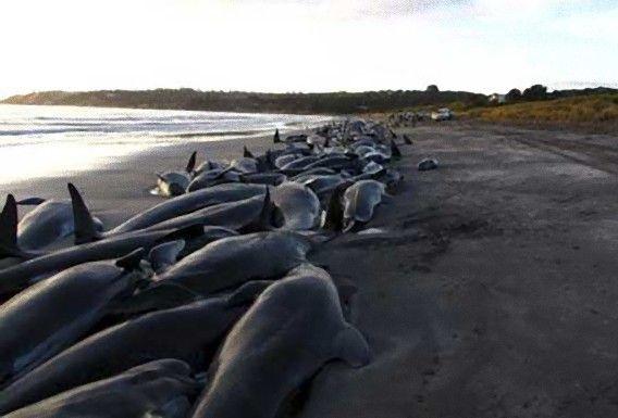 米海軍「今まで黙ってたけど、クジラやイルカの大量座礁は俺たちのせいなんだよねwwwwwww」シーシェパード「」