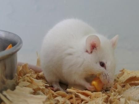 生きたマウスの体内でiPS細胞の作製に成功