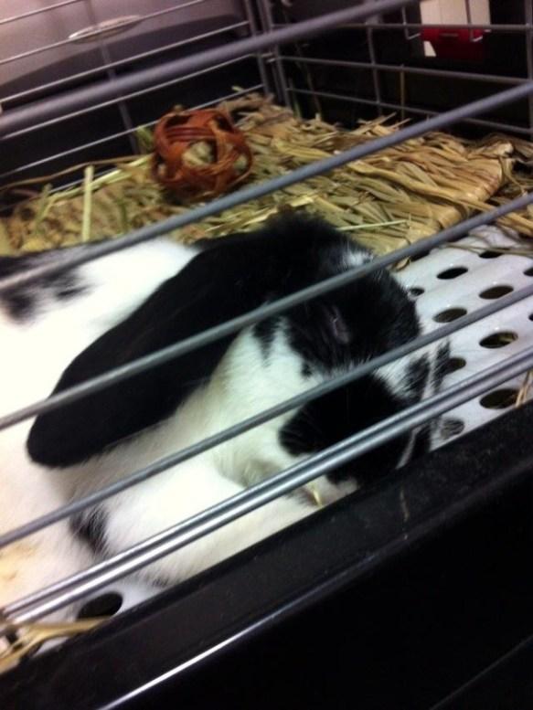 【画像】うちのウサギ可愛過ぎワロタwwwwwww