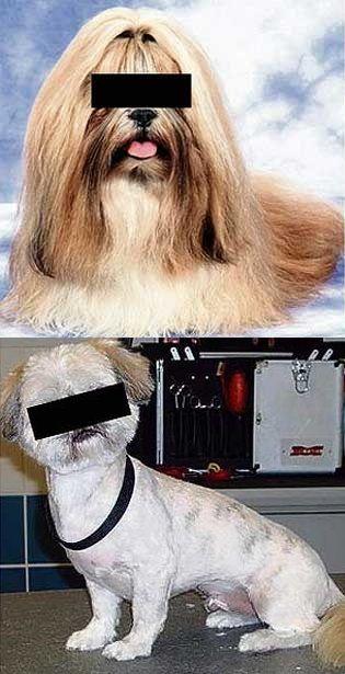 【画像】嫉妬したイギリスの男、腹いせに彼女の愛犬を丸刈りにする