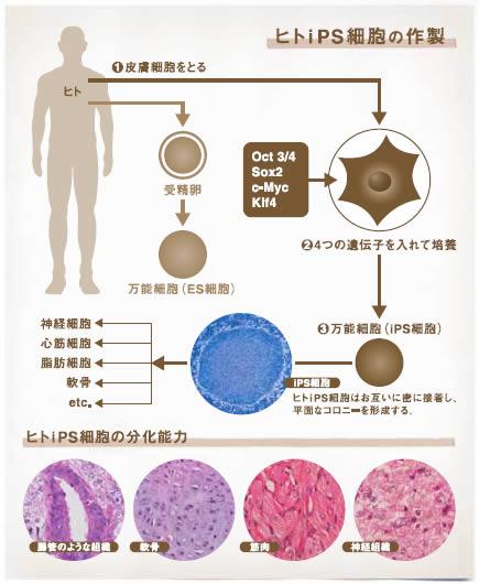 iPS細胞とかについて知りたい奴おるか?