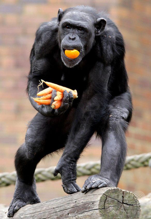 チンパンジーの暴力性は「生まれつき」