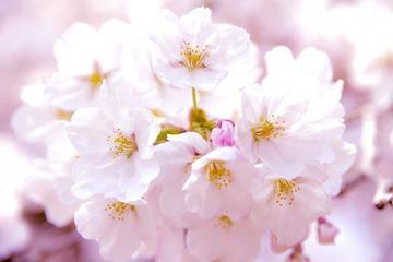 韓国「桜は日本軍国主義の象徴」 オランダ国際刑事裁判所庁舎への桜の植樹に反対