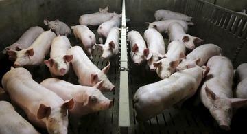【フィンランド】イスラム難民を養豚施設に収容…当局「問題ない」