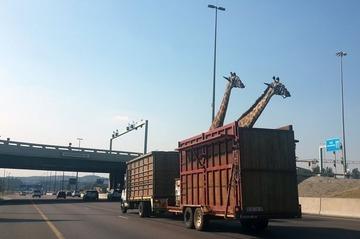 キリンをトレーラーで運ぶ → 橋に頭がぶつかって死亡…南アフリカ
