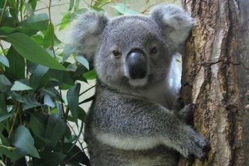 【ダブスタ】コアラを安楽死、反対世論盛り上がらず…オーストラリア