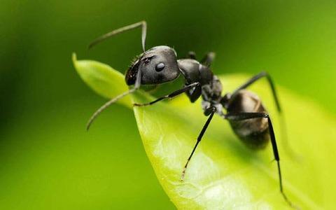 【ヒェッ…】とある少女の耳の中から1000匹以上の蟻が… → 耳の中に巣が作られた状態の本人は痛みを感じず、鼓膜も無事の模様…