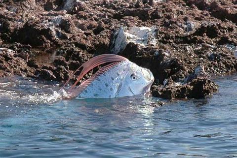 綺麗な状態の深海魚『リュウグウノツカイ』が富山湾で捕獲される!