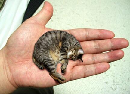 「世界一小さい猫」でギネス認定された猫がヤバ過ぎるwwwwwwww