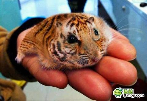 【画像】中国で密輸されたちっちゃいトラが発見される