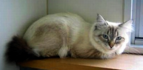 【プーチンからの使者】シベリア猫、ようやく秋田に ロシア大統領の贈り物